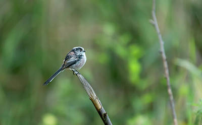 Photograph - Long Tailed Tit  by Darren Wilkes