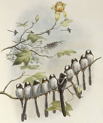 Tits Drawing - Long-tailed Tit  by John Gould