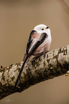 Photograph - Long-tailed Tit On The Oak Branch by Torbjorn Swenelius