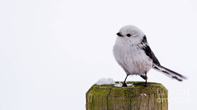 Photograph - Long-tailed Tit On The Pole by Torbjorn Swenelius