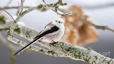 Long-tailed Tit Art Print by Torbjorn Swenelius