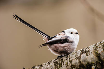 Photograph - Long-tailed Tit Wag The Tail by Torbjorn Swenelius