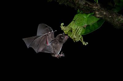 Photograph - Long-tongued Bat by Phoo Chan
