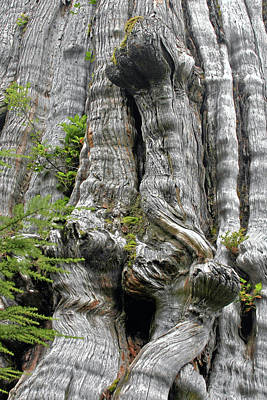 Bleached Tree Photograph - Long Views - Giant Western Red Cedar Olympic National Park Wa by Christine Till