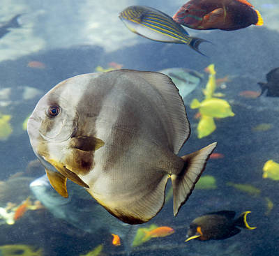 Tang Photograph - Longfin Batfish by Betsy Knapp