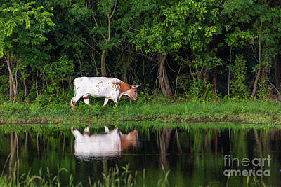 Photograph - Longhorn #2 by Vincent Bonafede