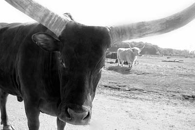 Photograph - Longhorn by Angela Murdock