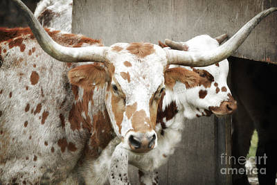Photograph - Longhorn Cattle Farm by Andrea Hazel Ihlefeld