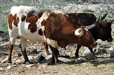 Photograph - Longhorn Cattle by Teresa Blanton
