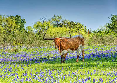 Longhorn Photograph - Longhorn Steer by Tod and Cynthia Grubbs