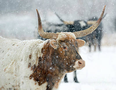 Photograph - Longhorn Winter by Mike Dawson