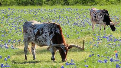 Longhorns In The Bluebonnets Art Print