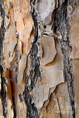 Long Leaf Pine Photograph - Longleaf Pine Bark by Inga Spence