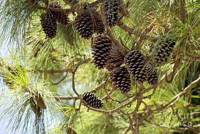 Long Leaf Pine Photograph - Longleaf Pine Cones by Inga Spence