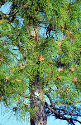 Photograph - Longleaf Pine Pollen Pods by William Tasker