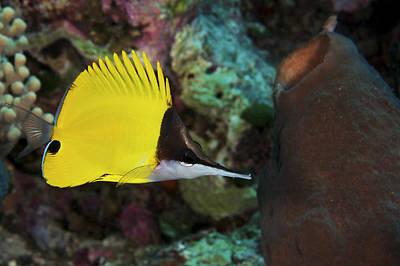 Undersea Photograph - Longnose Butterflyfish by Steve Rosenberg - Printscapes