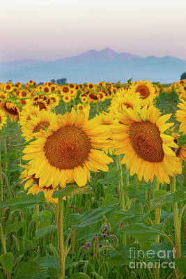 Photograph - Longs Peak And Sunflowers by Ronda Kimbrow