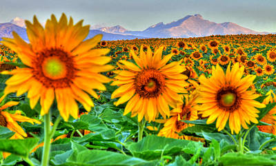 Photograph - Longs Sunflowers by Scott Mahon