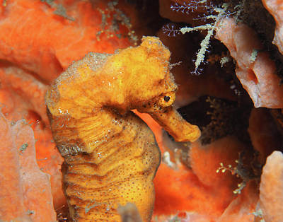 Photograph - Longsnout Seahorse, Florida, Horizontal by Pauline Walsh Jacobson