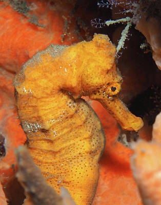 Photograph - Longsnout Seahorse, Florida, Vertical by Pauline Walsh Jacobson
