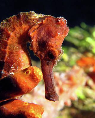 Photograph - Longsnout Seahorse, St. Croix, U.s. Virgin Islands 1 by Pauline Walsh Jacobson