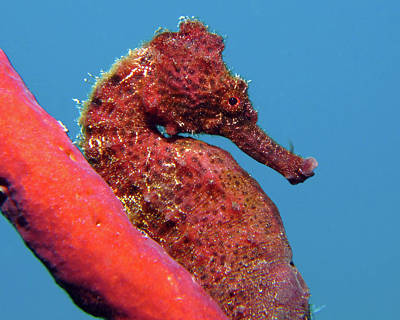 Photograph - Longsnout Seahorse, St. Croix, U.s. Virgin Islands 7 by Pauline Walsh Jacobson