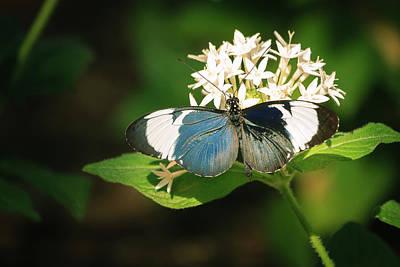 Photograph - Longwing Butterfly On Milkweed by Joni Eskridge
