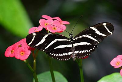 Photograph - Longwings - Zebra Longwing Butterfly by KJ Swan