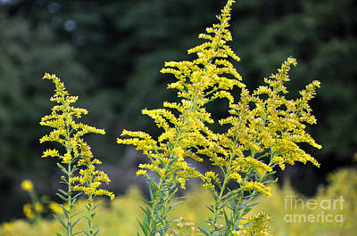 Photograph - Longwood Gardens Meadow Flowers 3 by Andrew Dinh