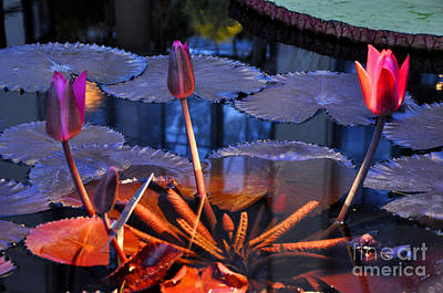 Photograph - Longwood Gardens Water Lotus 2 by Andrew Dinh