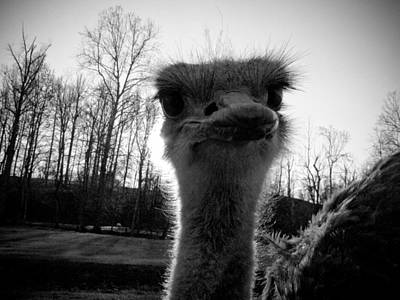 Ostrich Photograph - Look At Me Now by Jessica Brawley