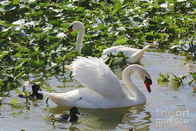 Photograph - Look At Me Swan by Carol Groenen