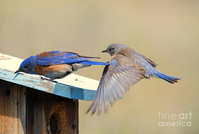 Bluebird Photograph - Look Behind You by Mike Dawson