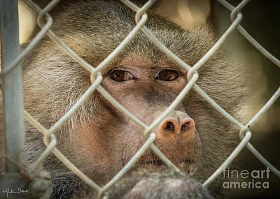 Photograph - Look Into My Eyes Baboon by Julian Starks