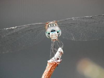 Photograph - Look Me In The Eye Dragonfly by Belinda Lee