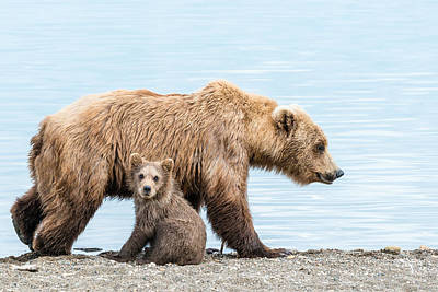 Brown Bear Photograph - Look Mom by Ian Stotesbury