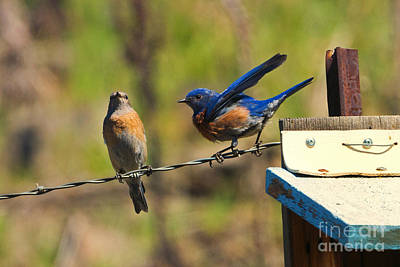 Bluebird Photograph - Look My Way by Mike Dawson