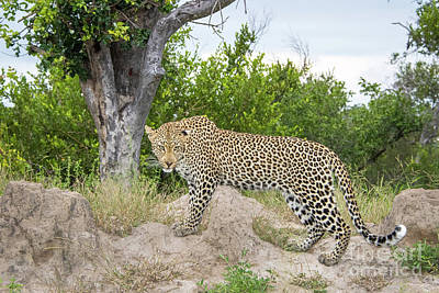 Photograph - Look Of The Leopard by Jennifer Ludlum