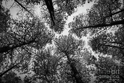 Photograph - Look Up 4 B W Tall Pine Tree Art  The F by Reid Callaway