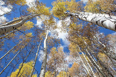 Photograph - Look Up Aspens by Theresa Muench