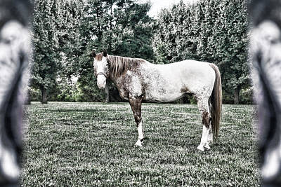 Photograph - Looking Appaloosa by Sharon Popek