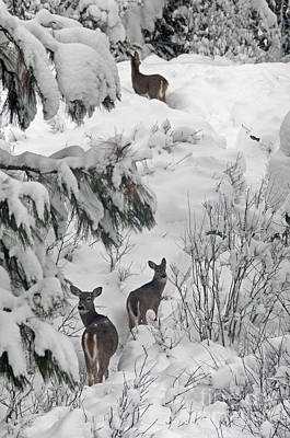 Photograph - Looking Back White Tail Deer Id by Cindy Murphy - NightVisions