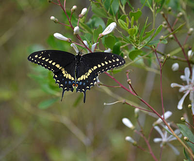 Photograph - Looking For An Open Flower Black Swallowtail Butterfly by rd Erickson