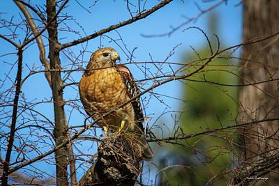 Photograph - Looking For Danger Coopers Hawk Art by Reid Callaway