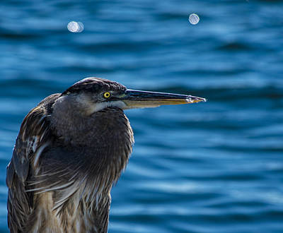 Heron Photograph - Looking For Lunch by Marvin Spates