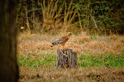 Red Shouldered Hawk Photograph - Looking For Some Lunch by Linda Unger