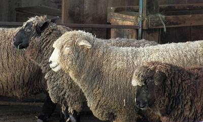 Photograph - Looking For The Shepherd by Georgia Hamlin