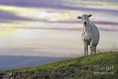Mountain Sheep Photograph - Looking From The Above by Angel  Tarantella