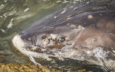Fresh Water Fish Photograph - Looking Into The Eye Of The Sturgeon by Thomas Young