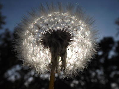 Photograph - Looking Through A Dandelion by Rebecca Cearley